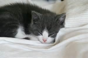 Eirik_Newth-A_sleeping_<strong>kitten</strong>-02.jpg