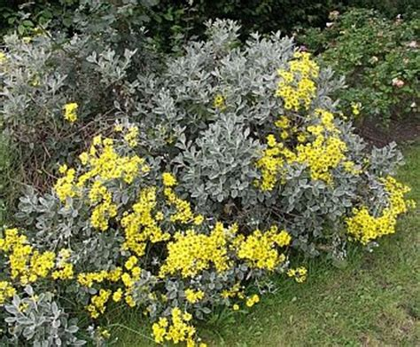 evergreen shrub with yellow flowers senecio grayii also called bush is a tough