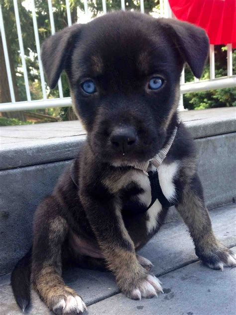 pit husky mix puppies best 25 pit bull mix ideas on pitbull mix breeds mix pitbull and pit