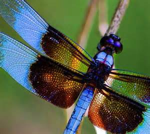 what color are dragonflies dragonflies
