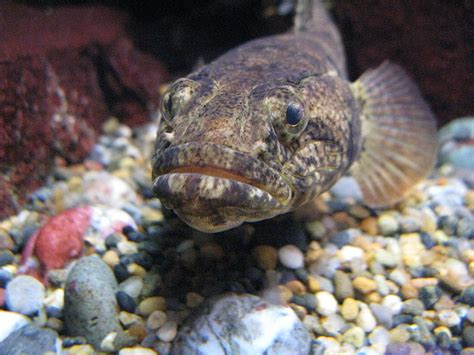 Sleeper Goby Freshwater by Freshwater Goby Animal Crossing Wiki