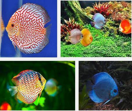 Pakan Ikan Hias Discus ikan hias discus cara budidaya jenis perawatan serta