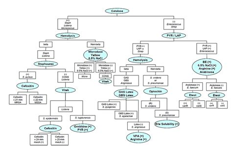 staphylococcus flowchart staphylococcus epidermidis identification maple suyrup diet