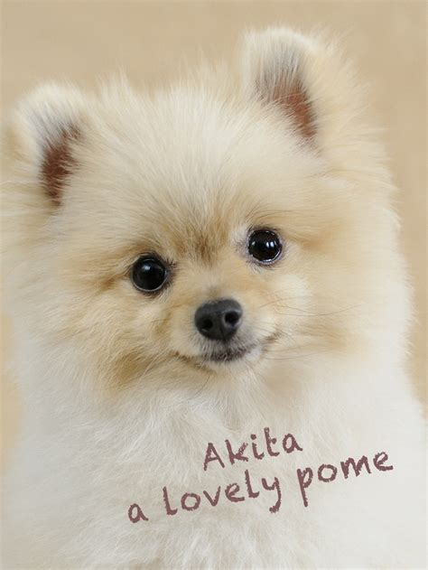 pomeranian adoption san diego teddy pomeranians for adoption breeds picture