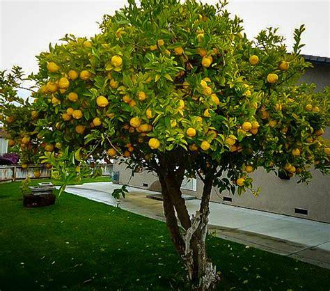 what does tree eureka lemon tree the tree center