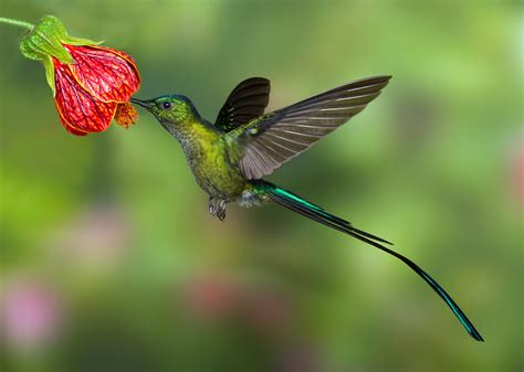 Hummingbird Burung Kolibri hummingbird with feathers click on image for
