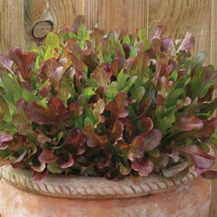 Promo Benih Selada Merah Lettuce Rosa Mr Fothergills Kemas benih selada merah mixed khusus pot 50 biji non retail bibitbunga