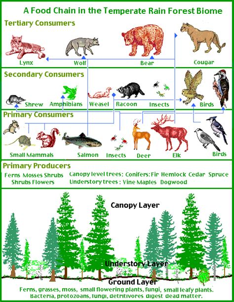 forest food chain diagram temperate forest food web