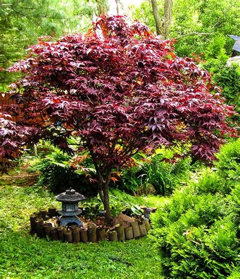 maple tree for sale bloodgood japanese maple for sale the tree center