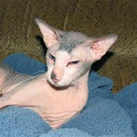 bibigon russian shamira cattery russian peterbald hairless cats and kittens