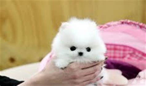 pomeranian breeders iowa pomeranian puppies for your home for sale in des moines iowa classified