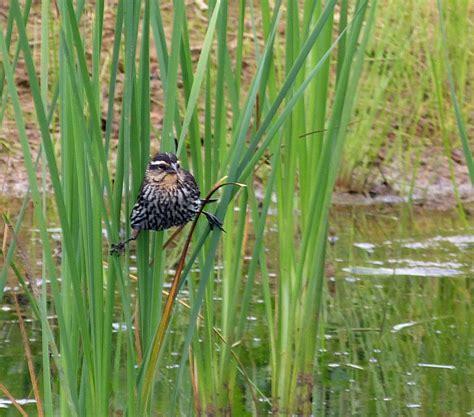 Bird Bedding Cattails Creasey Mahan Nature Preserve