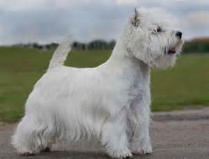 West highland white terrier breeders breed clubs and rescue