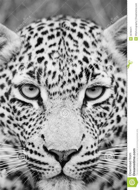 imagenes de jaguar blanco black and white leopard stock image image of face south
