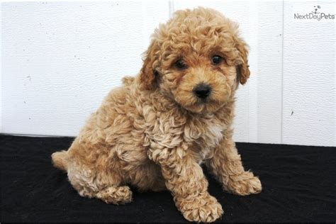 bichpoo puppies poo bichpoo puppy for sale near lancaster pennsylvania 74ead47b 2561