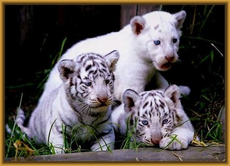 imagenes tigre blanco bengala fotos tigre de bengala blanco archivos fotos de tigres