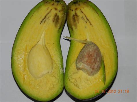 Bibit Pohon Mangga Alpukat alpukat pear jumbo bibit tanaman buah