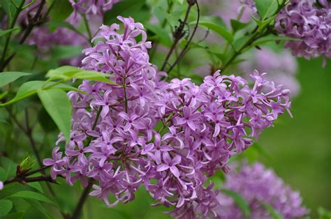 purple lilacs umd arboretum and botanical garden 马里兰大学植物园 persian lilac
