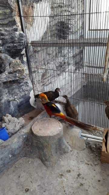 Beli Bibit Ayam Cemani 301 moved permanently