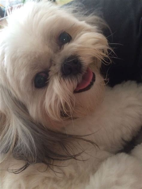 happy shih tzu happy shih tzu shih tzus