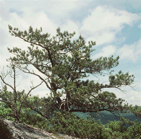 table mountain pine pinus pungens table mountain pine
