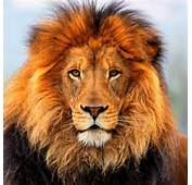 How Does Lion Look Like  What It Find Out Here