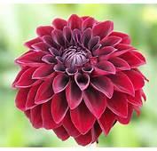 Dahlia  Enhance Beautiful For Your Garden Flower Home
