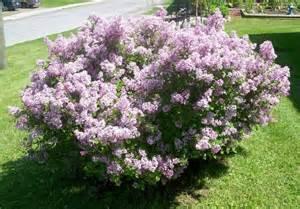 lilac bushes mini lilac bush bushes pinterest miniature i want and shrubs