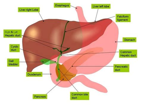 Detox Liver Gilbert S by Connecting Liver Disease And Gilbert S Healthy