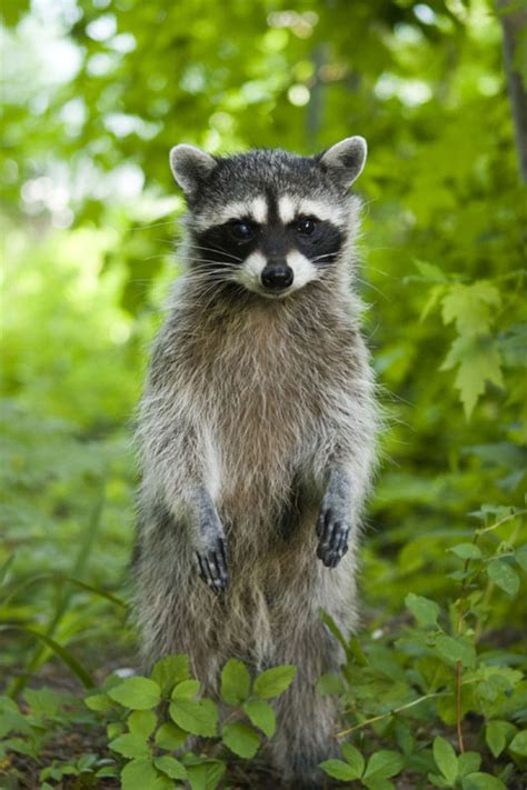 What To Do If A Raccoon Is In Your Backyard by Raccoons Are Their Nightly Rounds Eastern Sea