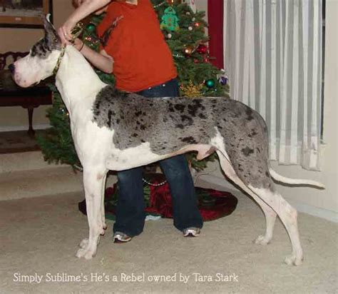 libro 100 great danes 100 best likes passions images on dog cat pets and australian shepherd