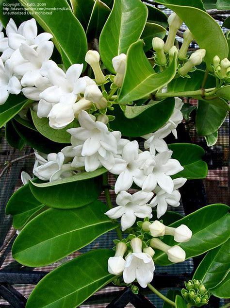 Hawaiian Wedding Flower Picture by Size Picture Of Madagascar Bridal Wreath
