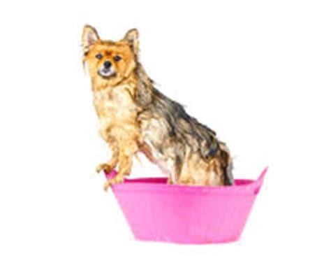pomeranian en espanol un perro que toma un ba 241 o en la ba 241 era ilustraci 243 n vector imagen 41503607