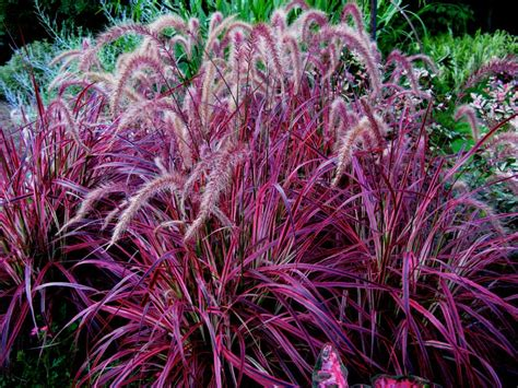 pennisetum fireworks variegated fountain grass from itsaul plants