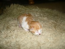 Kucing Utara: Photo Tumbesaran Anak kucing Parsi