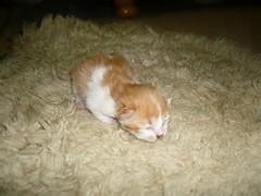 Anak kucing parsi semasa berumur 3 hari