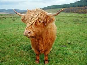Highland cattle interesting facts amp photographs all wildlife