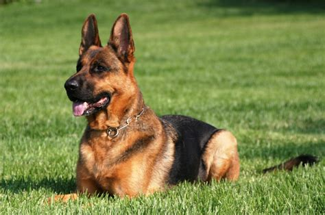 protection dogs personal protection dogs for sale protection dogs protection