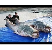 Bilal Asif Worlds Largest Fish