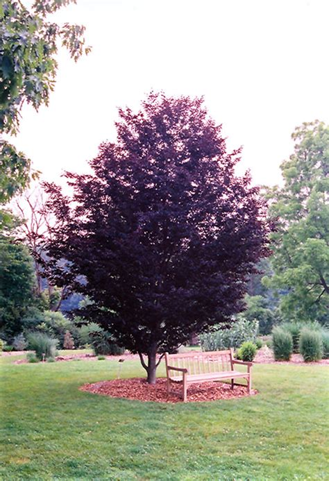 rohan purple beech fagus sylvatica rohanii in