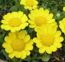 Bibit Benih Biji Rhubarb bunga nano