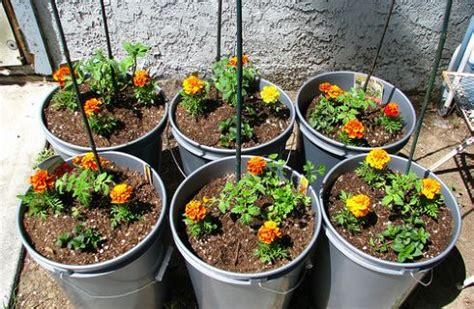 pomodoro ciliegino in vaso coltivare pomodori in casa in vaso sul balcone donnaclick