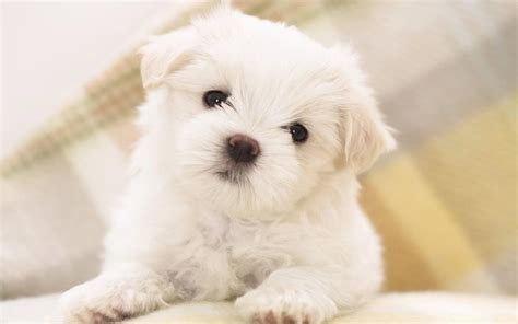 puppy live puppies live wallpaper puppy pictures android apps on play