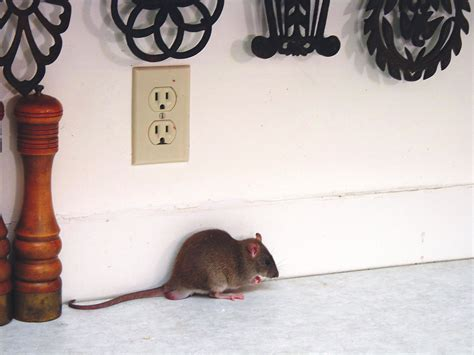 Rat Infestation Kitchen by How To Get Rid Of Rats In Kitchens