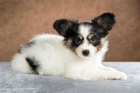 adorable small puppies 50 puppies you ll to see to believe american