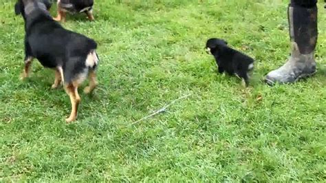 miniature rottweiler for sale mini rottweiler puppies for sale breeds picture