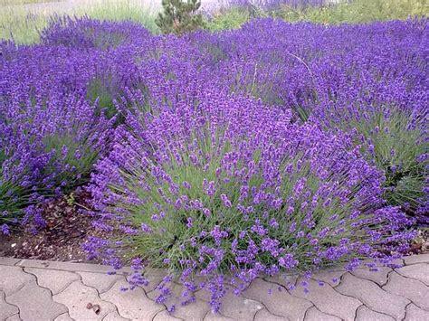 Lavendel Pflege Im Garten 5104 by Echter Lavendel