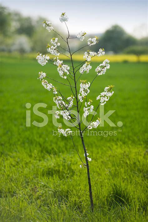 Hartriegel Weiße Blüten 1525 cherry tree in stock photos freeimages