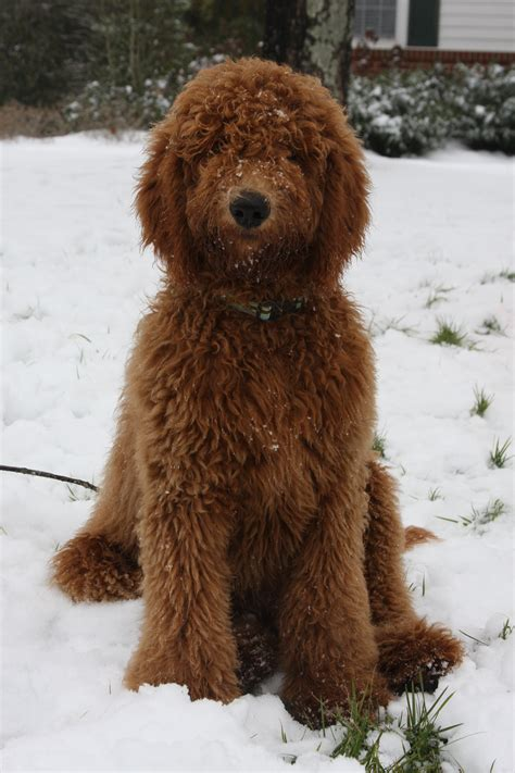 goldendoodle lifespan labradoodle on labradoodles goldendoodle