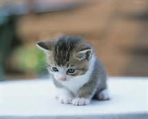 Inilah 4 Tips Merawat Anak Kucing Tanpa Induknya – tilulas.com